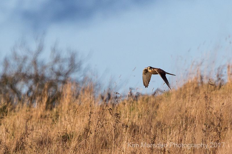 Kestrel on the hunt in the late evening light