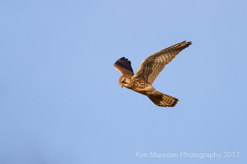 Hovering Kestrel near Nunburnholme
