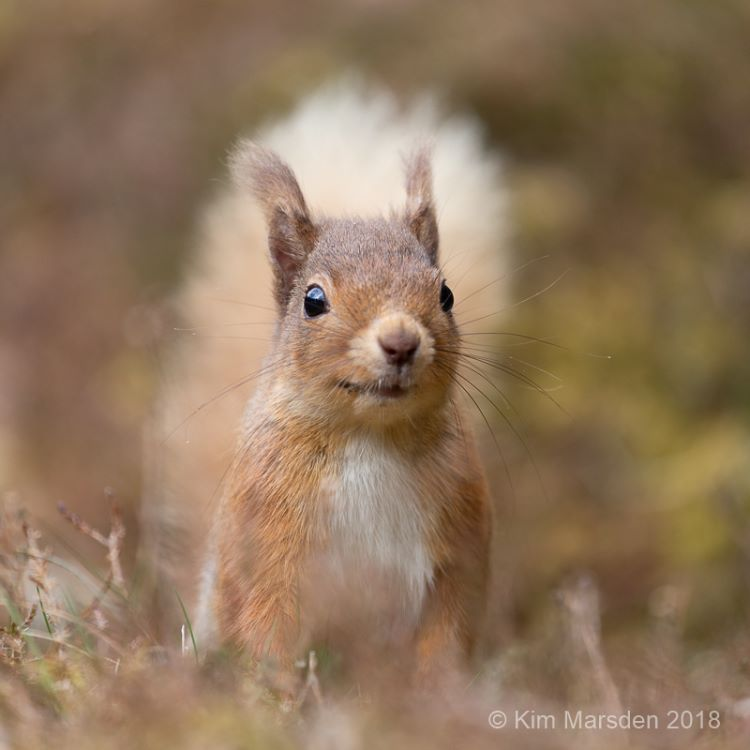 Red Squirrel 19