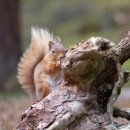 Red Squirrel 15