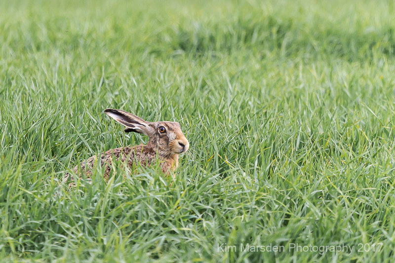 Hare hunkering down on Yorkshire Wolds