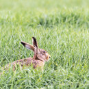 Hare in waiting