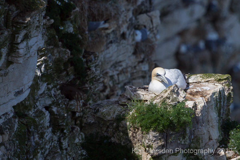 Gannet sleeping in the sunshine