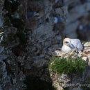 Gannet sleeping in the sunshine