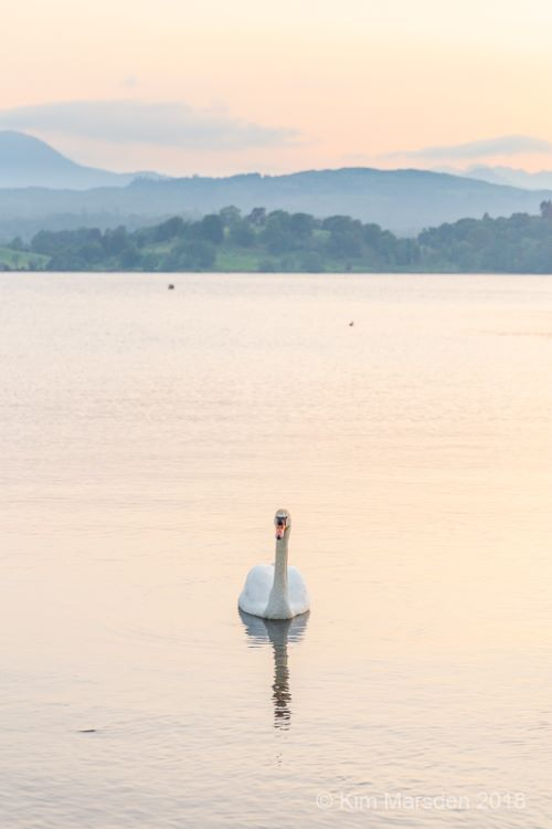 Swan in sunset light on Windermere