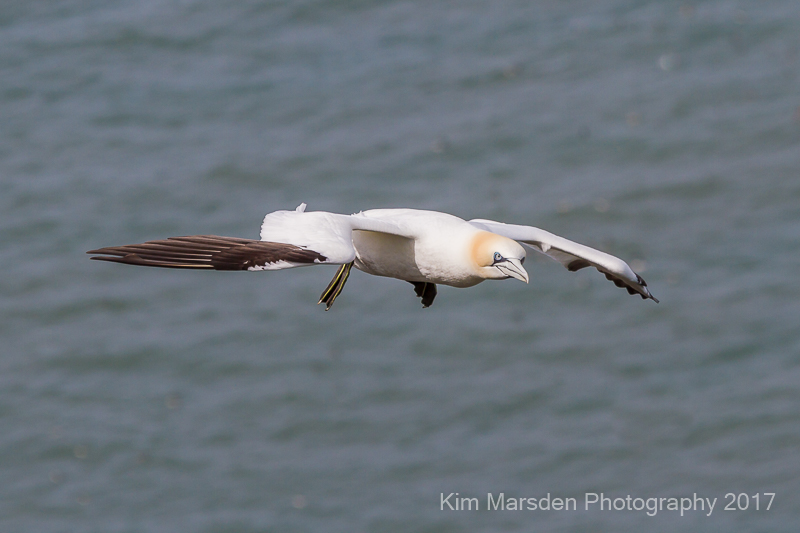 Gannet with attitude