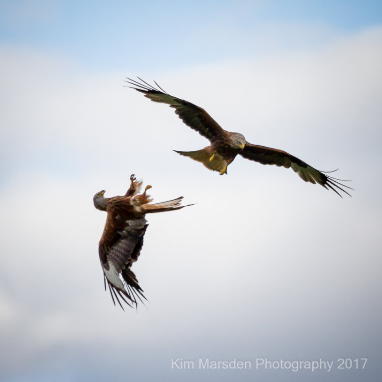 Red Kites over the Yorkshire Wolds