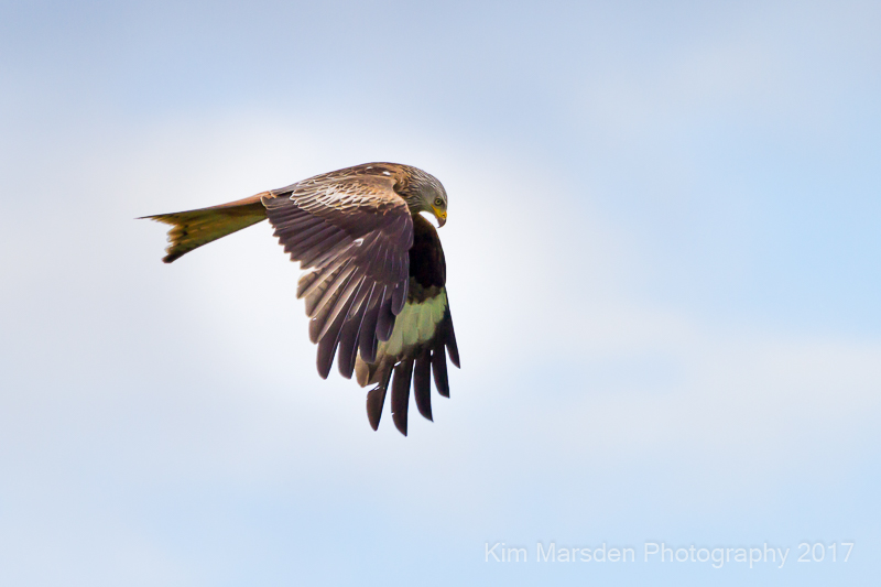 Red Kite going home to roost