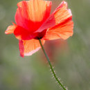 Wolds Poppy