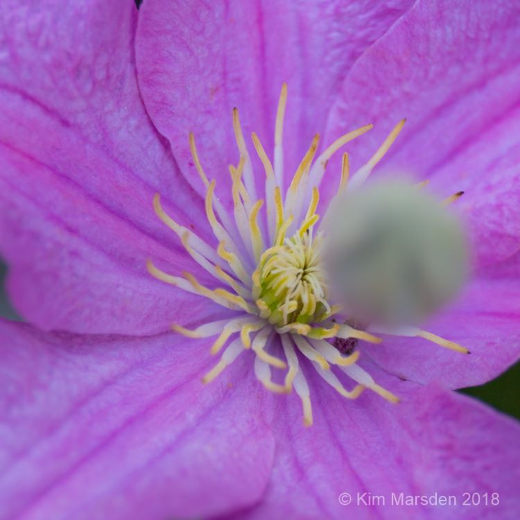 Clematis & bud