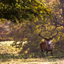 Stag in dappled light