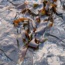 Sunlit kelp