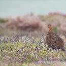 Grouse - North York Moors