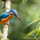 Kingfisher looking for its next meal