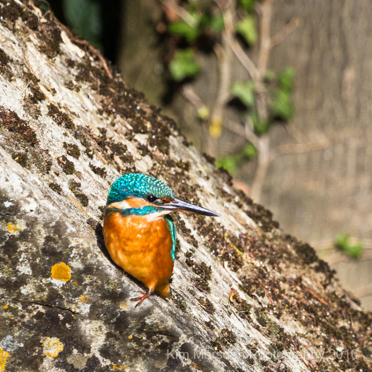 Kingfisher in the sunshine