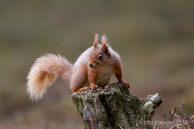 Red Squirrel 14