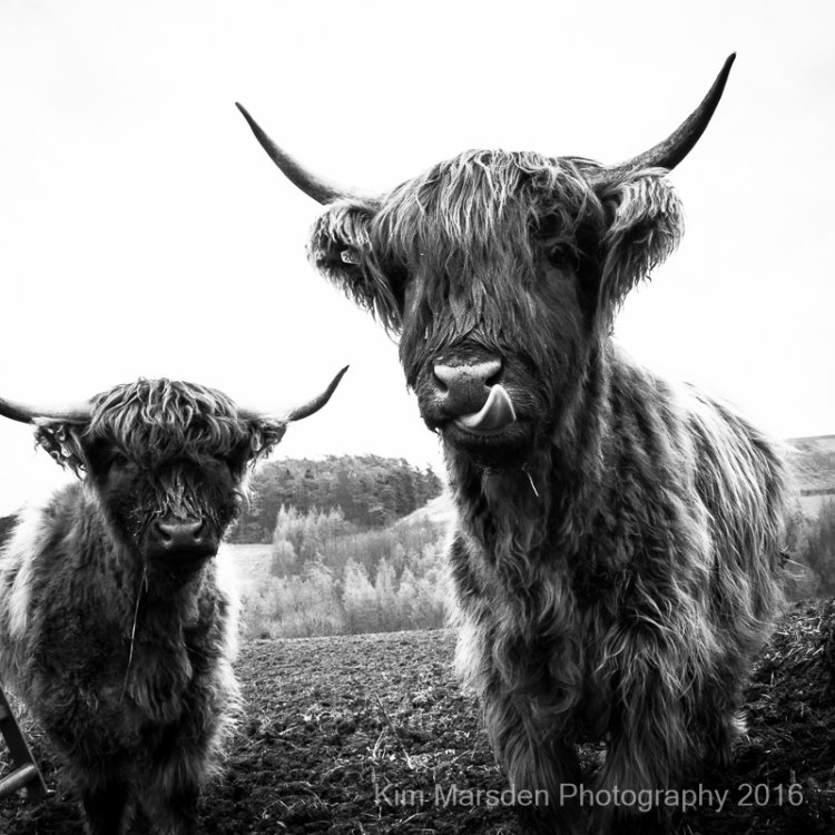 A pair of Highland Cows