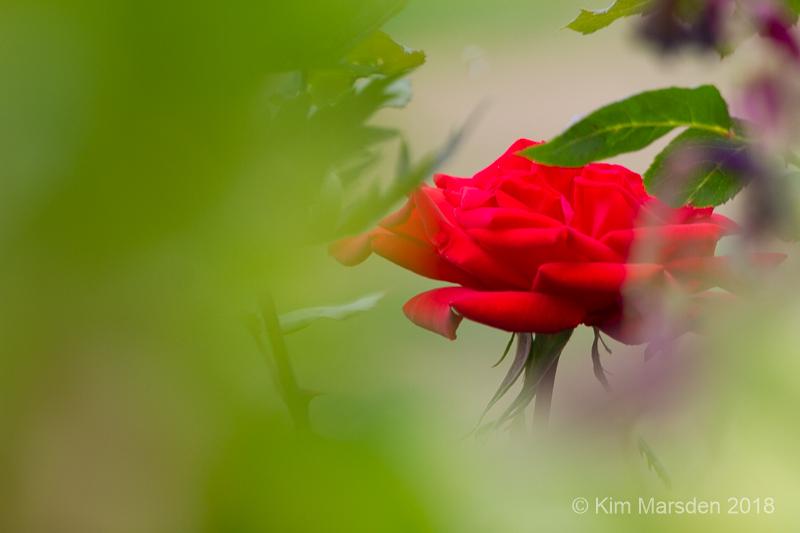 Peeping rose