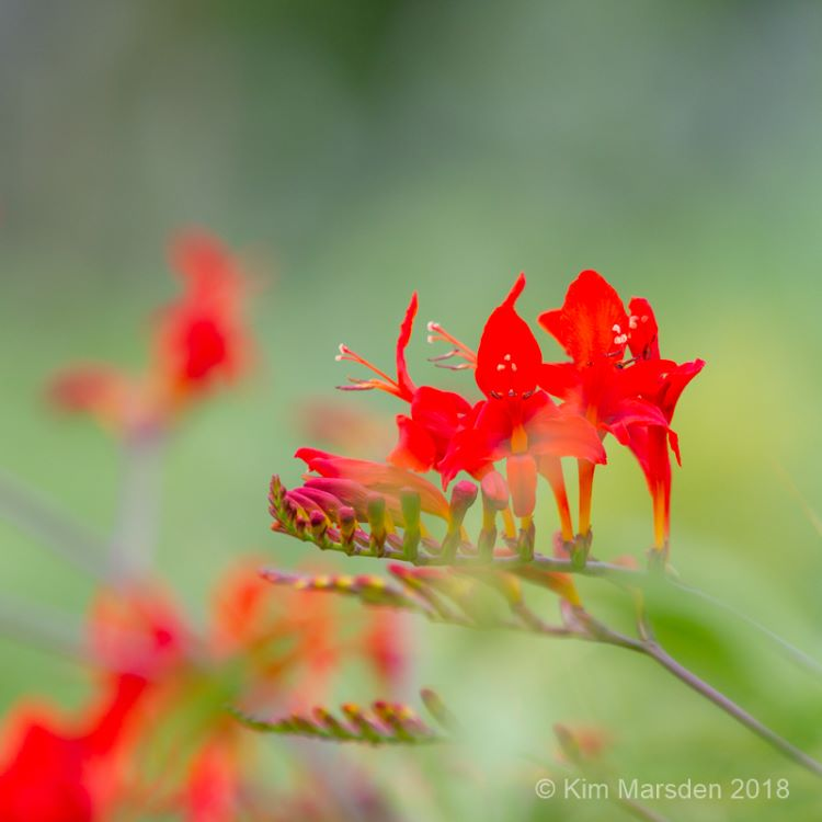 "Crocosmia ""Lucifer"""