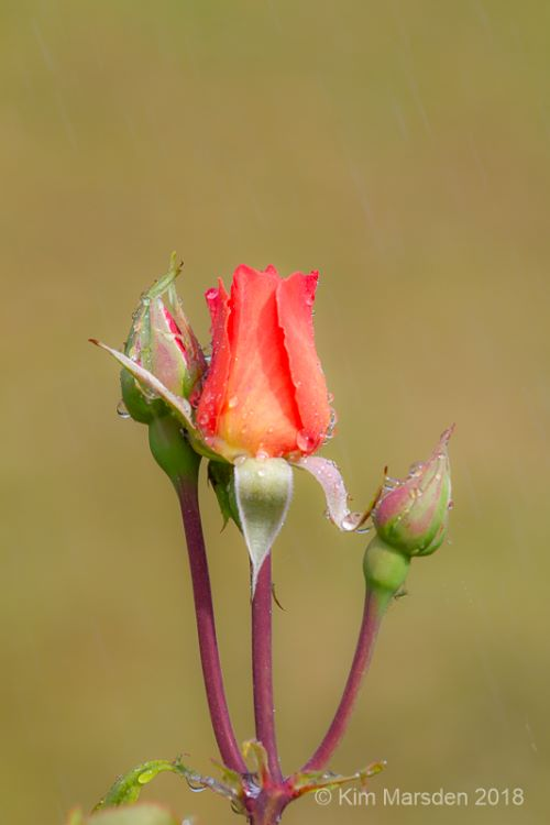 Raindrops on rose buds