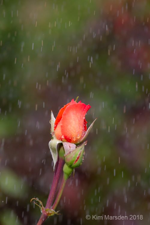 Rose bud in sunshine & shower