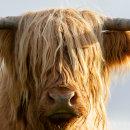 Highland cow 6