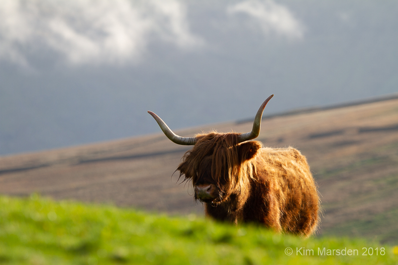 Highland cow out on the hills