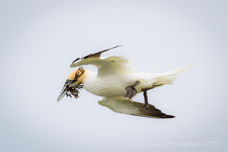 Gannet preparing nest