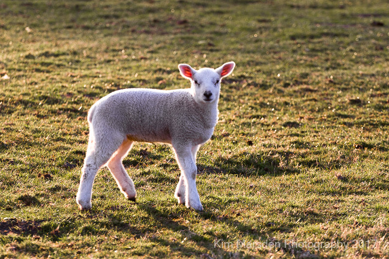 Backlit lamb - in the late evening light