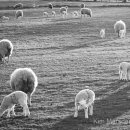 Sheep grazing in the late evening light