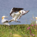 Gannet coming in to land