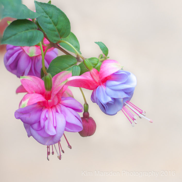 Timeless Fuschias