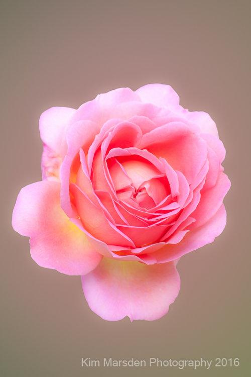 RHS Wisley Rose