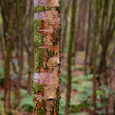 Young silver birch