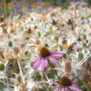Echinacea border - Greys Court - York