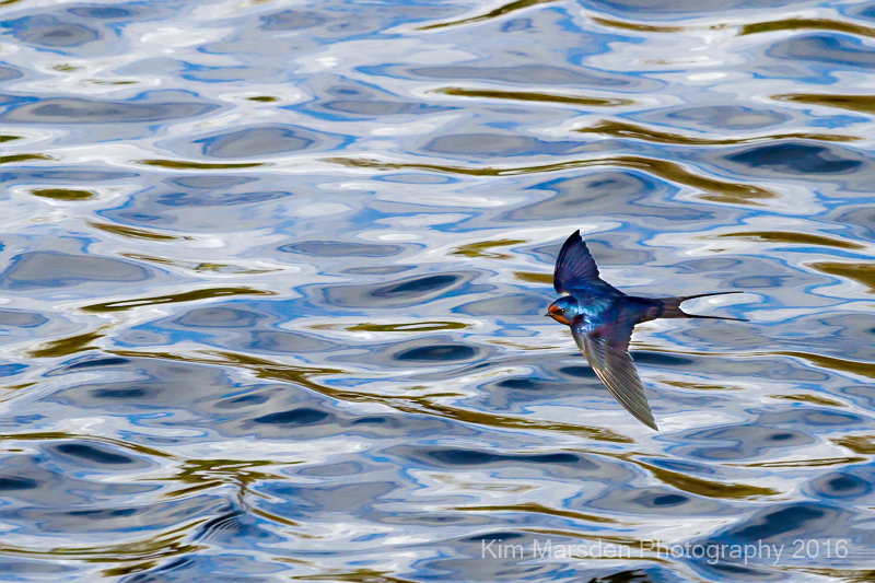 Swallow in flight over the River Ouse