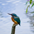 Kingfisher on post at the side of the river