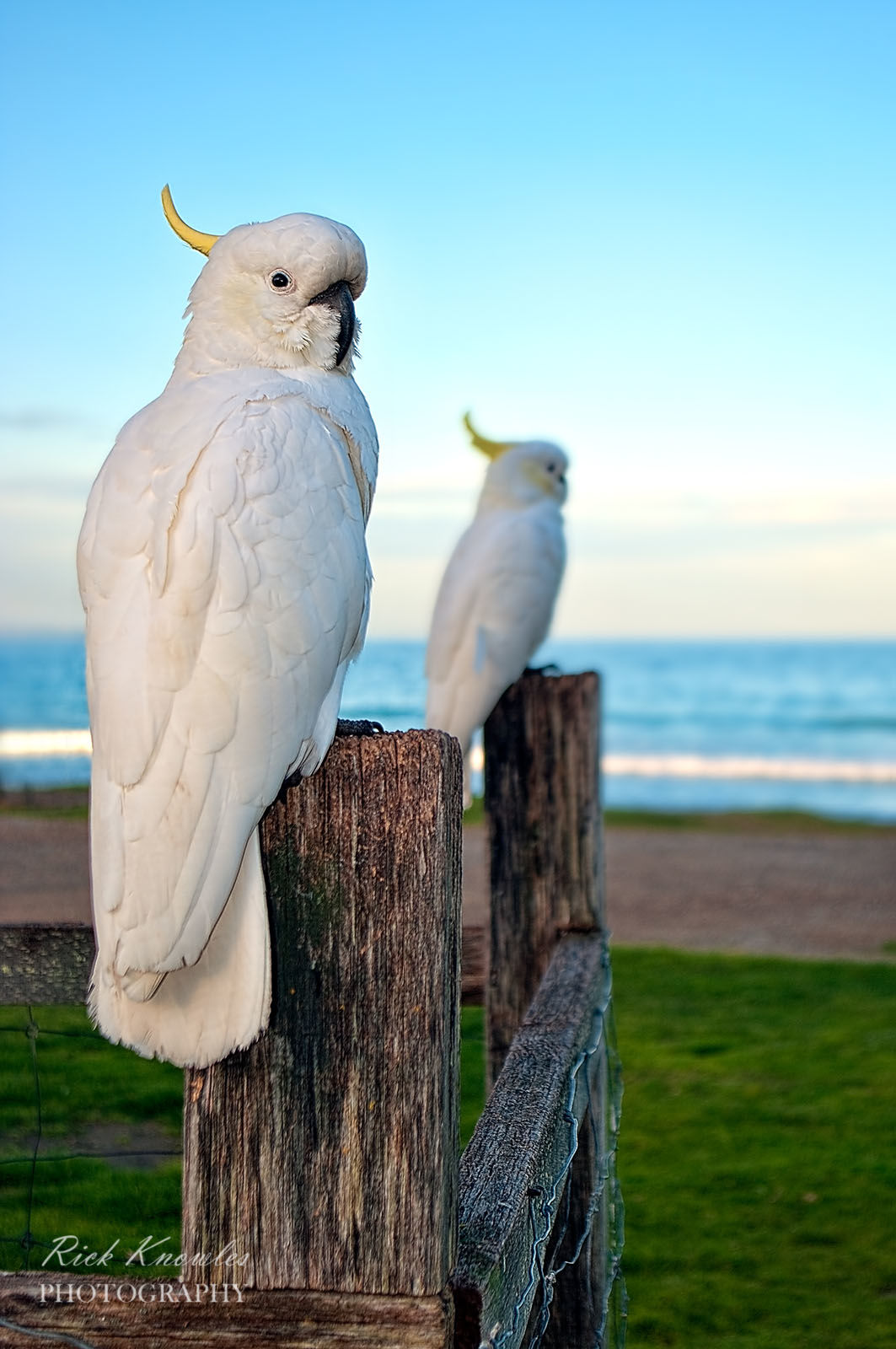 Cockatoos On The Fence