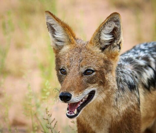 Black Backed Jackal 2-N-Cloete-Lorraine-4STAR