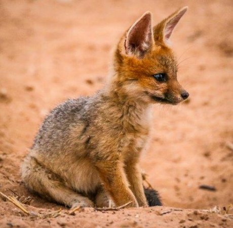 Cuddlesome Cape Fox