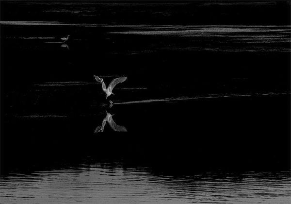 Egret on the Move-M-Malan-Dawid-5STAR