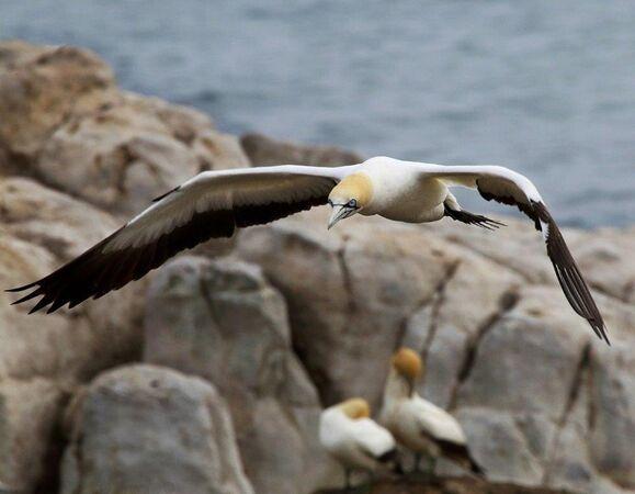 Gannet in Flight-N-Emanuel-Fern-4STAR