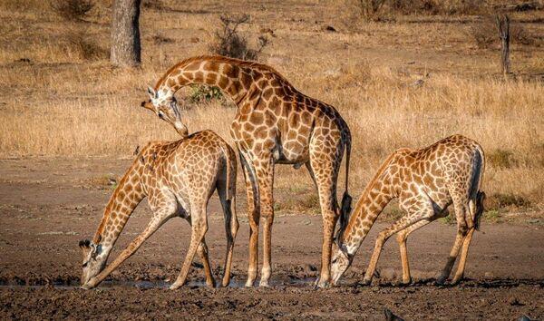 Giraffe Choreography-N-Emanuel-Doug-5STAR