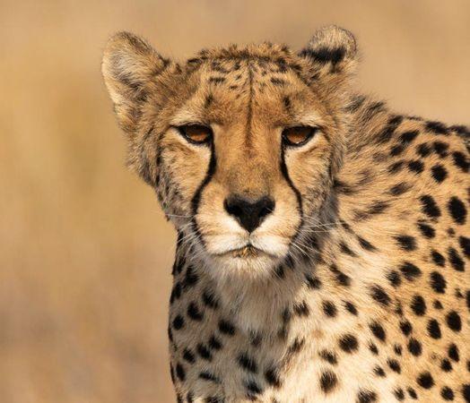Lonesome Cheetah