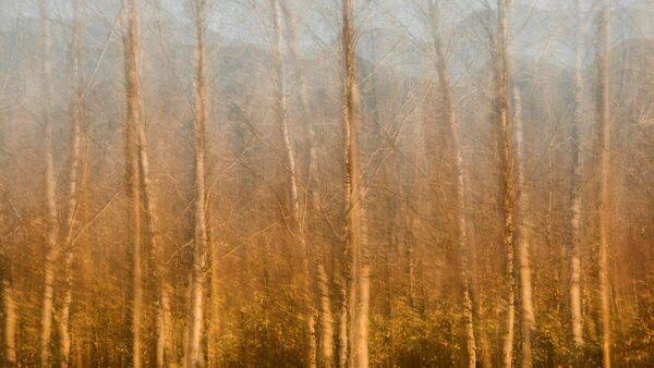 Poplars in gold