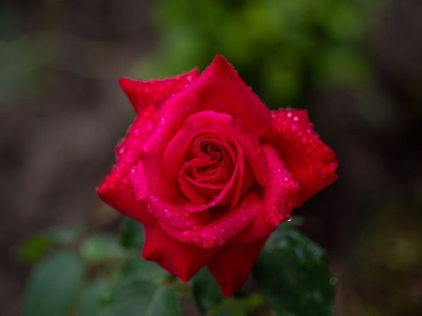 Red Red Rose-P-Johnstone-Joanne-2STAR