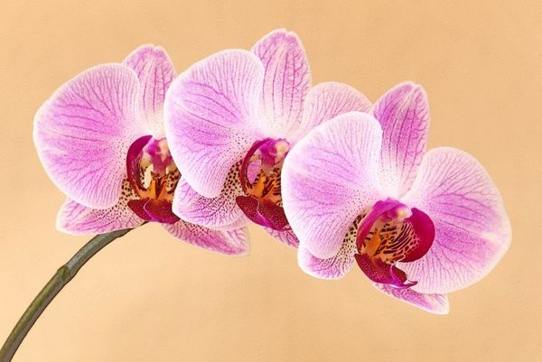 Seniors Highly Commended -Bedia's orchid - Des Kleineibst