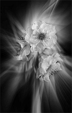 blossom rays-CA-Phillips-Carol-MB