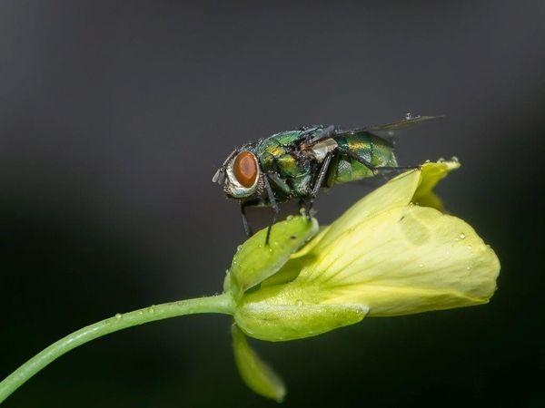 green bottle fly-MC-Stromberg-Diana-5STAR