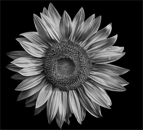 helianthus-M-Phillips-Carol-MS